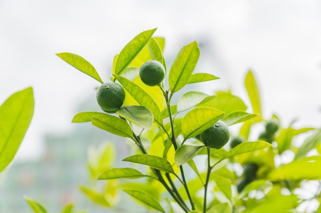 Dojrzałe źdźbła jonów brunch drzewa. świeży zbiór owoców ekologicznych.