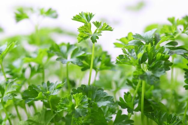 Dojrzałe zielone gałązki kolendry rosnące, widok z boku. efekt bokeh.
