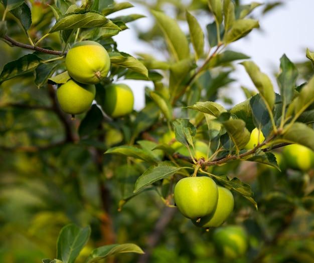 Dojrzałe zielone jabłka