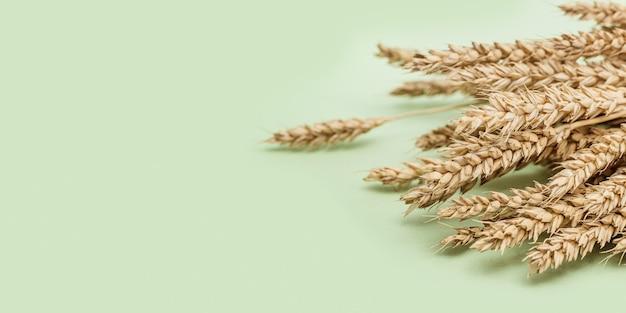 Dojrzałe złote kłosy pszenicy z bliska. dojrzewające kłosy zboża. pojęcie czasu jesiennych zbiorów.