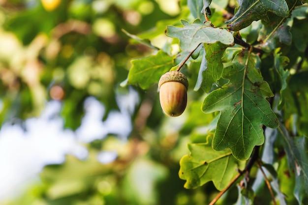 Dojrzałe żołędzie i zielone liście na drzewie