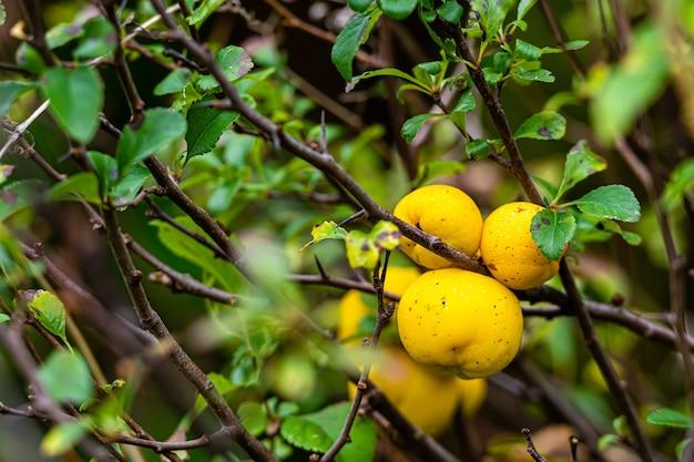 Dojrzałe żółte owoce pigwy na drzewie w organicznym ogrodzie