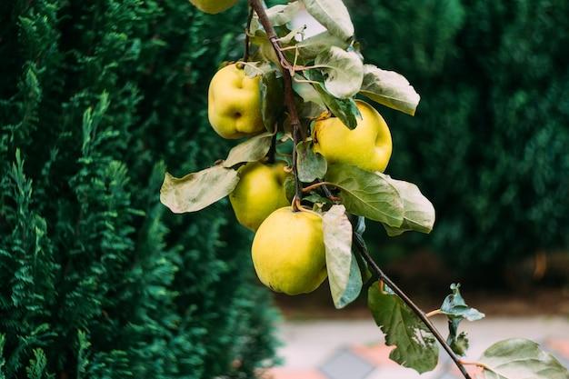 Dojrzałe żółte owoce pigwy rosną na drzewie pigwy z zielonymi liśćmi w jesiennym ogrodzie wiele dojrzałych pigwy