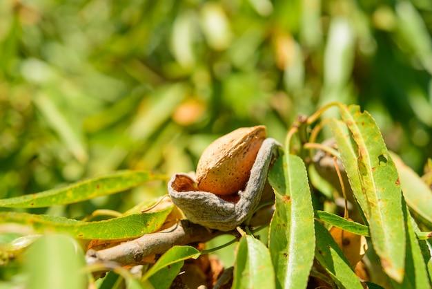Dojrzali migdały na gałąź z zielonymi liśćmi, zamykają up