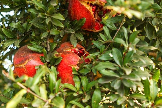 Dojrzały czerwony granatowiec na drzewie w dzikim, turcja