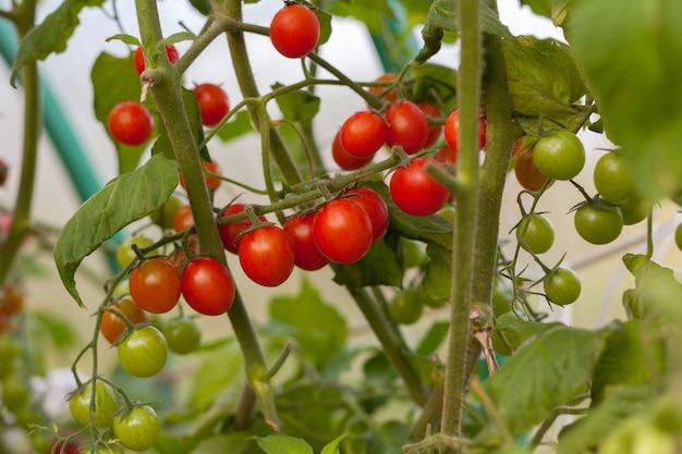 Dojrzały i niedojrzały pomidor na gałąź