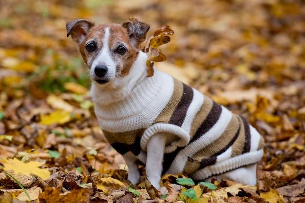Dojrzały jack russell terrier w lesie w jesienny dzień, pies siedzi na żółtych liściach jesienią.