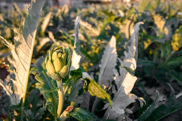 Dojrzały karczoch rośnie w buszu na śródziemnomorskiej plantacji.