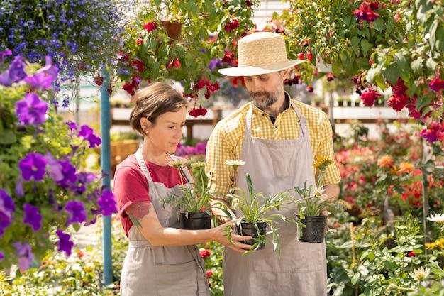 Dojrzały ogrodnik pokazuje swojemu koledze kilka nowych rodzajów kwiatów ogrodowych w doniczkach, jednocześnie stojąc w szklarni