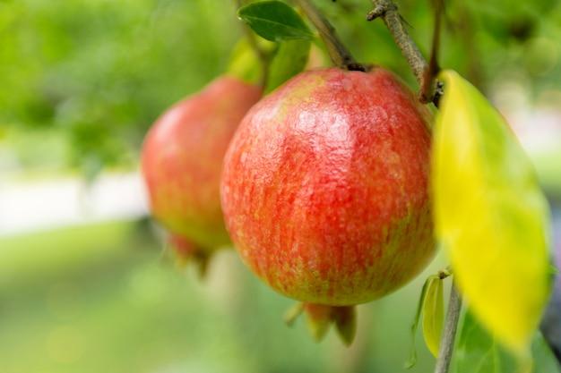 Dojrzały owoc granatu na drzewie