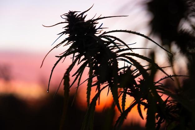 Dojrzały pączek konopi o świcie, sylwetka pąka marihuany na tle pomarańczowego nieba.