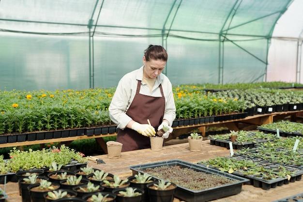 Dojrzały rolnik przesadza sadzonki w szklarni
