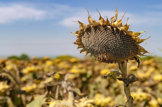 Dojrzały słonecznik, gotowy do zbioru nasion na polu przed zbiorami.