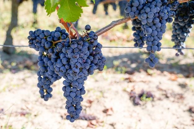 Dojrzały winogrono cabernet franc na winorośli w regionie saint emilion bordeaux we francji