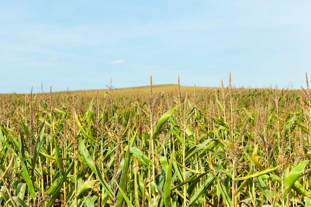Dojrzewająca zielona kukurydza z chwostami na polu, zbliżenie pola uprawnego późnym latem lub wczesną jesienią