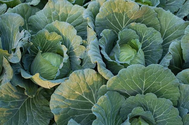 Dojrzewające główki zielonej kapusty świeżej rosnącej w polu gospodarstwa
