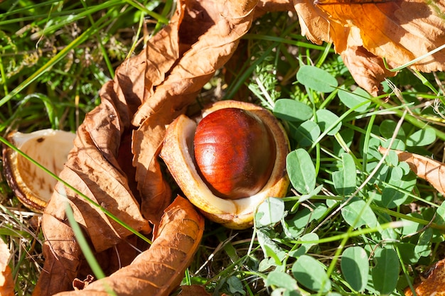Dojrzewające i opadłe na ziemię owoce kasztanowobrązowe