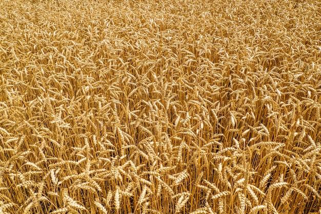 Dojrzewające kłosy złocistego pola pszenicy łąkowej.