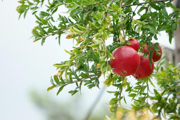 Dojrzewanie owoców granatu na drzewie.