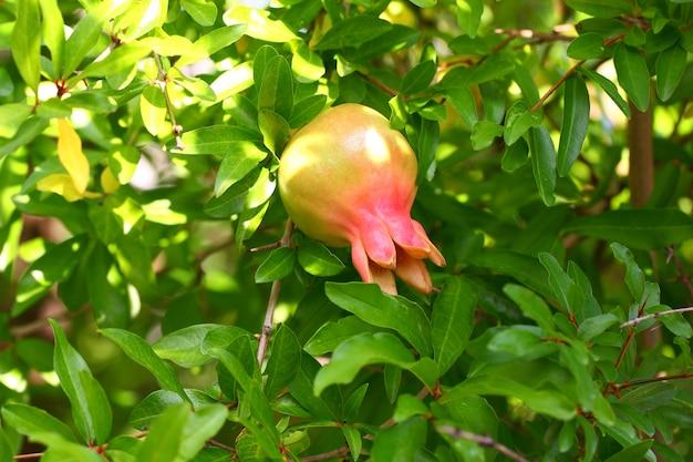 Dojrzewanie owocu granatu wiszące na gałęzi drzewa wśród zielonych liści