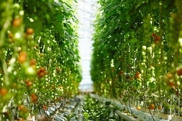 Dojrzewanie pomidorów