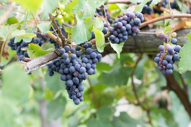 Dojrzewanie winogron na winorośli przed zbiorem