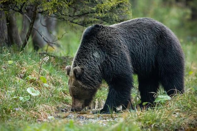 Dominująca niedźwiedzia brunatnego męska woda pitna od strumienia w lesie