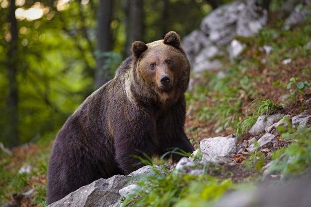 Dominujący niedźwiedź brunatny, ursus arctos stojący na skale w lesie.
