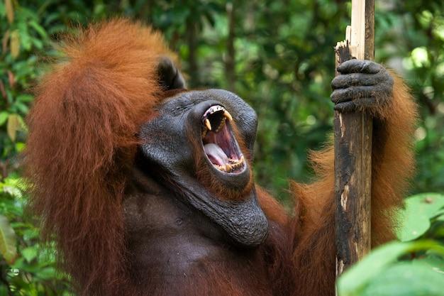 Dominujący samiec orangutana ziewa. indonezja. wyspa kalimantan (borneo).
