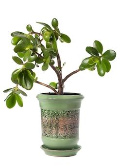 Domowa roślina doniczkowa grubosz (jade) na białym tle. ta roślina jest znana jako symbol szczęścia feng-shui (lub drzewo dolara).