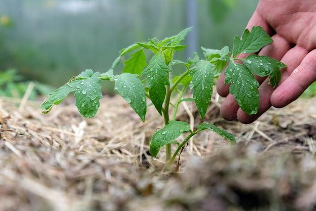 Domowa roślina pomidora bez warzyw we wczesnej fazie wzrostu.