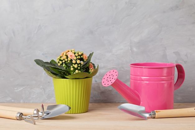 Domowa roślina w zielonej doniczce i narzędziach ogrodniczych. doniczkowe rośliny domowe na jasnej ścianie. stylowy wewnętrzny ogród. koncepcja ogrodnictwa w domu