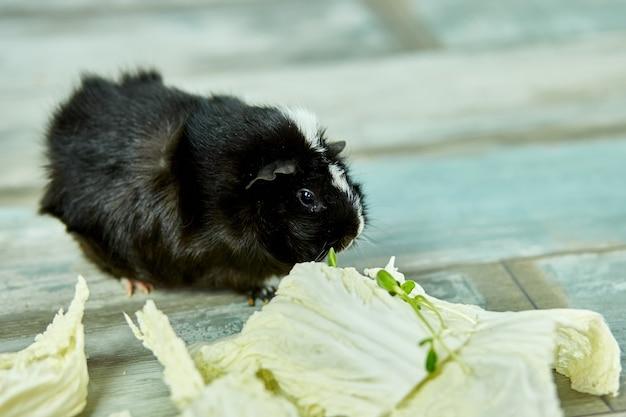 Domowa świnka morska lub świnka morska jedząca pokarm w postaci liści kapusty w domu, karmienie zwierząt domowych świnką morską, śmieszne zwierzę domowe, koncepcja opieki.