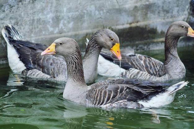 Domowe gęsi i kaczki kąpią się w wodzie basenowej na fermie drobiu