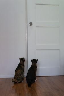 Domowe kotki siedzą przy drzwiach, czekając, aż właściciel wypuści je na zewnątrz