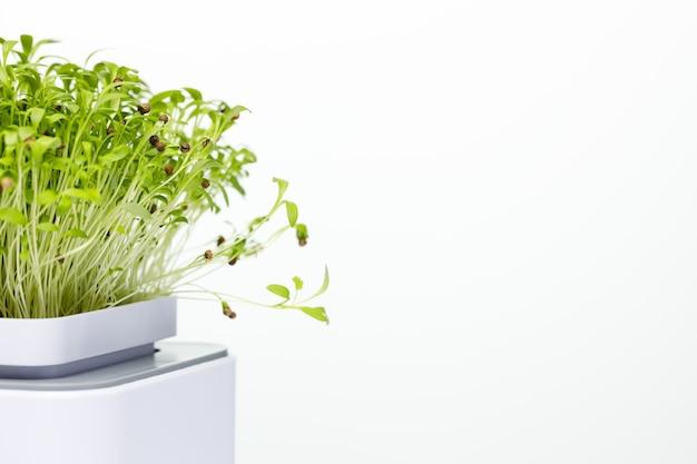 Domowe mikro-zielonki są źródłem pożytecznych mikroelementów i witamin na białym tle.