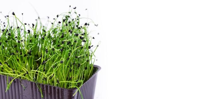 Domowe świeże organiczne mikroziele. mikro zielona cebula na białym tle z miejscem na tekst