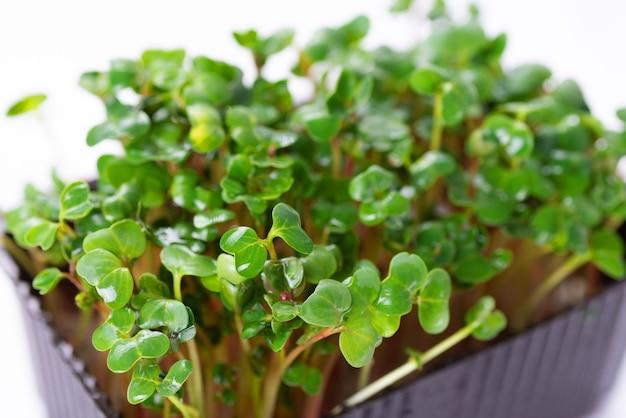 Domowe świeże organiczne mikroziele. mikro-zielona rzodkiewka z bliska
