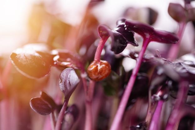 Domowe świeże organiczne mikroziele. mikrozielona fioletowa rzodkiew z bliska blaskiem słońca