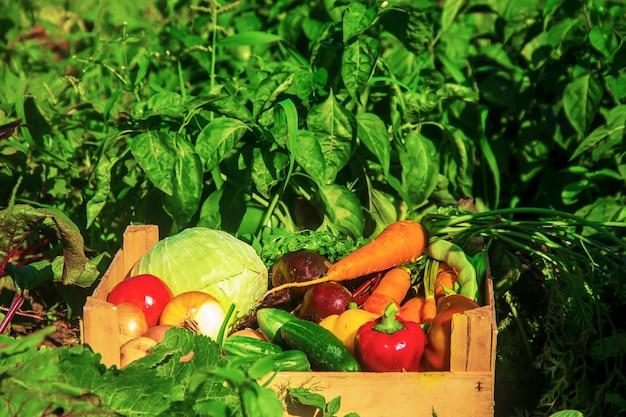 Domowe warzywa w ogrodzie. selektywna ostrość.