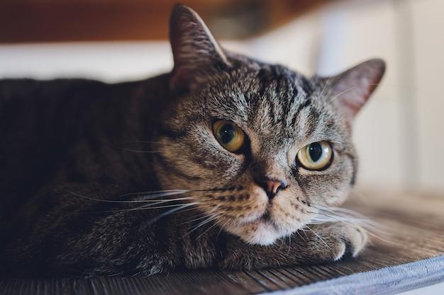 Domowe zwierzę domowe ładny kotek kot leżący na krześle z zabawnie wyglądającym zdjęciem z bliska.