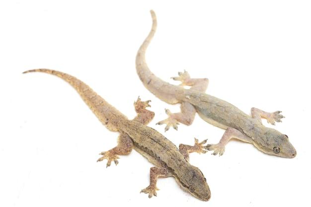 Domowej jaszczurki pospolity gekon odizolowywający na bielu