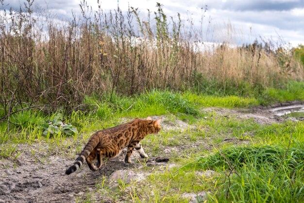Domowy kot bengalski chodzi na łonie natury