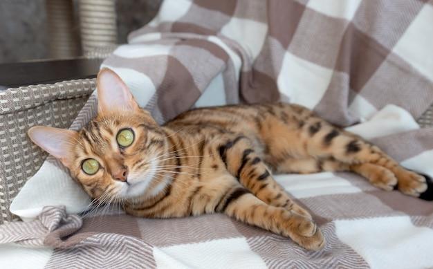 Domowy kot bengalski leży i śpi na kocu z dzianiny w kratę