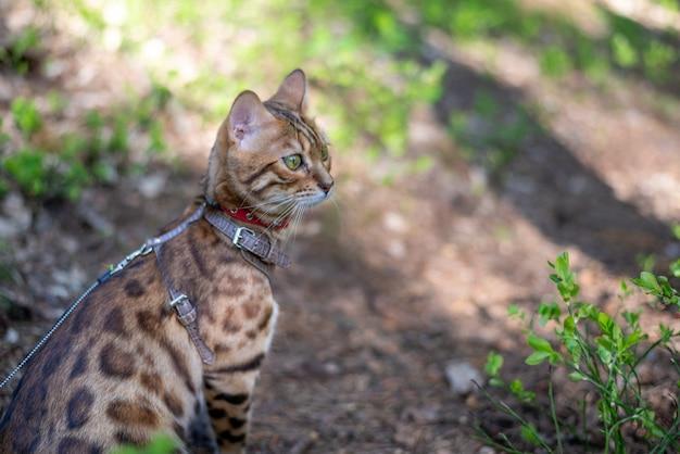 Domowy kot bengalski spacerujący po parku
