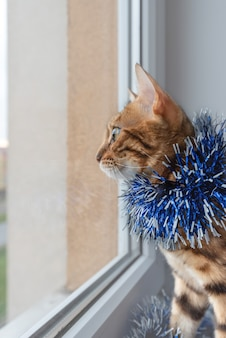 Domowy kot bengalski w świątecznym świecidełku wygląda przez okno.