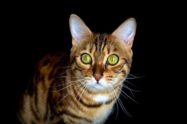 Domowy kot rasowy na czarnym tle na białym tle, strzał studio kot bengalski