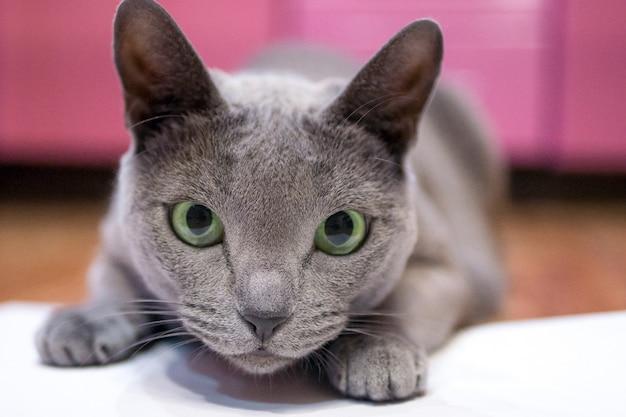 Domowy kot rosyjski niebieski bawi się w polowanie kot ukrył się i otworzył szeroko swoje zielone oczy, zanim skoczył