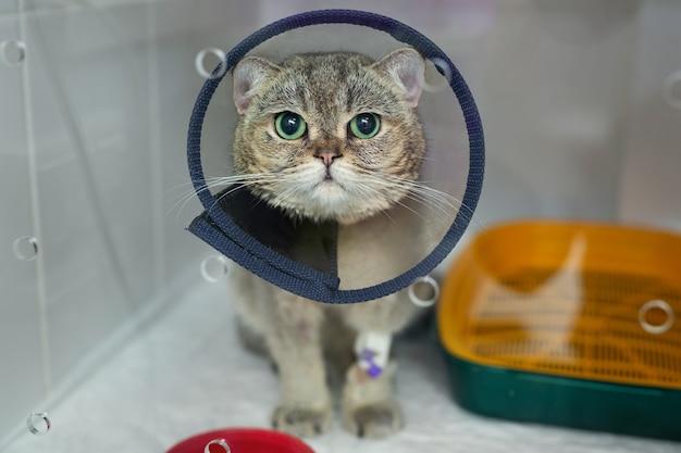 Domowy kot z heterochromią nosi stożkową obrożę dla zwierząt domowych po operacji, zapobiega gojeniu się ran
