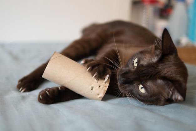 Domowy kotek czekoladowy bawi się, drapiąc i gryząc rolkę bibuły na łóżku bardzo skoncentrowany i zabawny paznokciami
